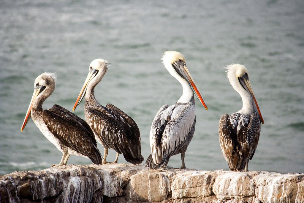 15. Chili Noord - Pelikanen